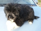 Shiranian Puppy For Sale in OXFORD, WI, USA