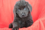 Newfoundland Puppy For Sale in KENT, OH, USA