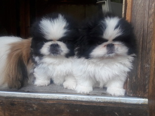 View Ad: Pekingese Litter of Puppies for Sale near North