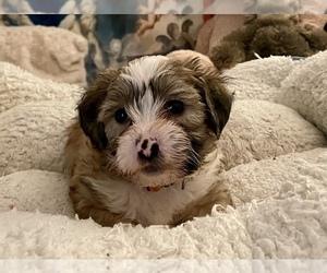 Zuchon Puppy for Sale in RENO, Nevada USA