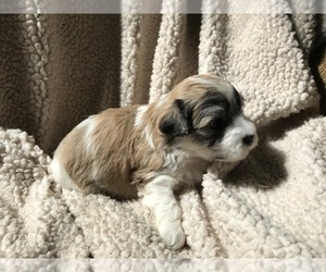Havanese Puppy for Sale in HILLSBORO, Oregon USA