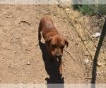 Small Photo #7 America Bandogge Mastiff-Mastiff Mix Puppy For Sale in FORT GARLAND, CO, USA