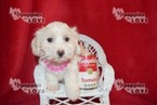 Coton de Tulear Puppy For Sale in SANGER, TX, USA