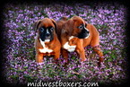 Boxer Puppy For Sale in BARNARD, MO,