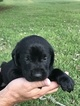 Labrador Retriever Puppy For Sale in FABIUS, AL, USA