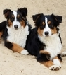 Australian Shepherd Puppy For Sale in OCALA, FL, USA