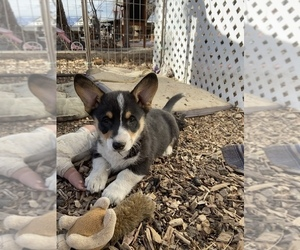 Pembroke Welsh Corgi Puppy for sale in LITTLETON, CO, USA