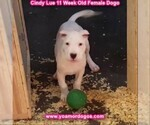 Small Photo #125 Dogo Argentino Puppy For Sale in PINEVILLE, MO, USA