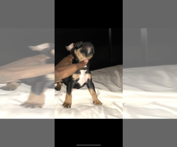 PuppyFinder com - View Ad: Photo #1 of Listing American