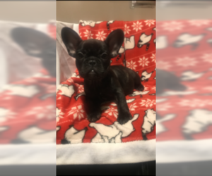 French Bulldog Puppy for sale in HAMDEN, CT, USA