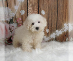 Puppy 12 Maltipoo