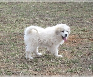 Great Pyrenees Puppy for sale in GROVESPRING, MO, USA