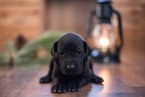 Great Dane Puppy For Sale in BAKER, ID, USA