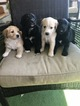 English Shepherd-Labrador Retriever Mix Puppy For Sale in FORT COLLINS, CO, USA