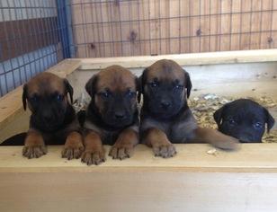 Mastador Puppy For Sale in MONTGOMERY, IN