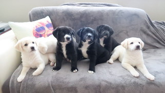 Labrador Retriever-Unknown Mix Puppy For Sale in FORDS, NJ, USA