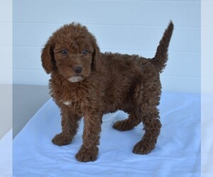 Labradoodle Puppy for sale in MILLERSBURG, OH, USA