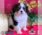 Beautiful purebred Cavalier King Charles puppy