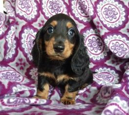Dachshund Puppy For Sale in HONEY BROOK, PA, USA