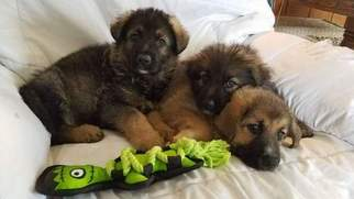 German Shepherd Dog Puppy For Sale in CLEAR BROOK, VA