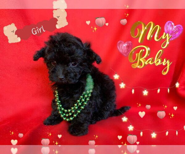 Medium Photo #2 Maltese-Maltipoo Mix Puppy For Sale in SAN FRANCISCO, CA, USA