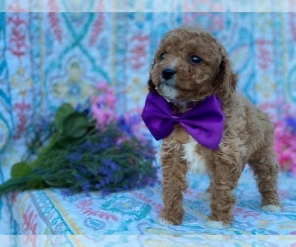 Medium Photo #1 Cavapoo Puppy For Sale in LANCASTER, PA, USA