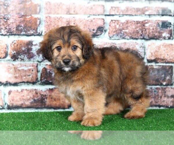 View Ad: Miniature Australian Shepherd Puppy for Sale near Singapore