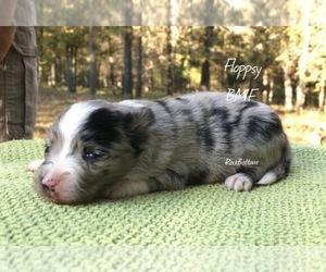 Miniature Australian Shepherd Puppy for sale in BATESVILLE, AR, USA