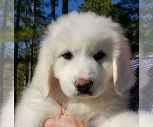 Great Pyrenees Puppy for sale in ATHENS, GA, USA