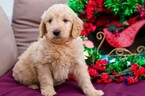 Goldendoodle Puppy For Sale in NEW PITTSBURGH, OH, USA