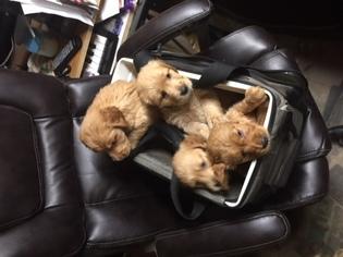 Golden Retriever Puppy For Sale near 55733, Esko, MN, USA