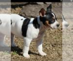Small #2 Rat Terrier