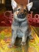 German Shepherd Dog Puppy For Sale in CANTON, TX, USA