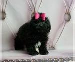 Puppy 13 ShihPoo
