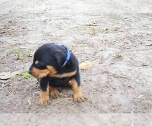 Doberman Pinscher Puppy for sale in BAKERHILL, AL, USA