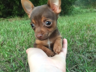 View Ad: Chihuahua Puppy for Sale near Texas, HOUSTON, USA  ADN-20341