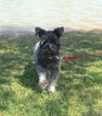AKC Adult Miniature Schnauzer Ebony