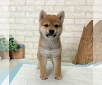 Small Photo #5 Shiba Inu Puppy For Sale in SEATTLE, WA, USA