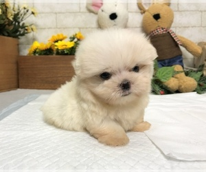 Maltese Puppy for sale in SAN FRANCISCO, CA, USA