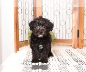 YorkiePoo Puppy for sale in NAPLES, FL, USA
