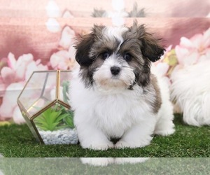 Shih-Poo Puppy for sale in MARIETTA, GA, USA