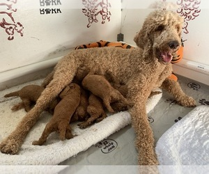 Mother of the Poodle (Standard) puppies born on 10/10/2020