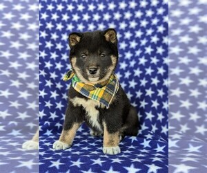 Shiba Inu Puppy for sale in LINCOLN UNIV, PA, USA