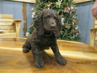 Boykin Spaniel Puppy For Sale in BAXLEY, GA, USA