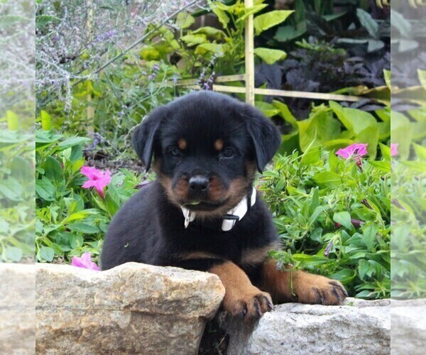 Medium Photo #1 Rottweiler Puppy For Sale in GAP, PA, USA