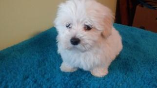 Coton de Tulear Puppy For Sale in UNION CITY, MI, USA
