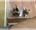 Chihuahua Puppy For Sale in TARPON SPGS, FL, USA