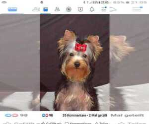 Yorkshire Terrier Dog for Adoption in Cluj-Napoca, Cluj Romainia