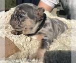 Small #28 French Bulldog