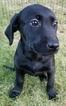 Labrador Retriever Puppy For Sale in WARREN, MA,